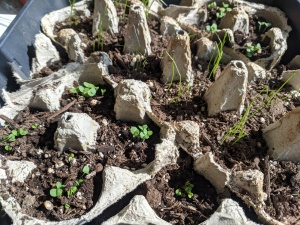Chives and basil seeds in egg carton seed tray